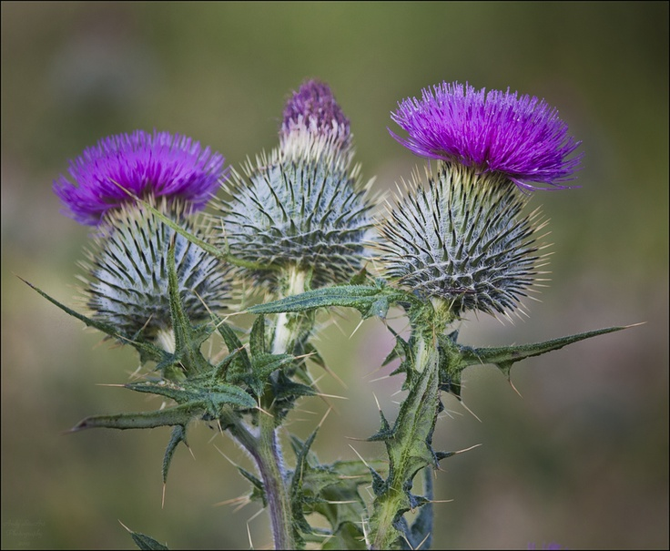 20 best Scotch Thistles images on Pinterest | Thistles ...