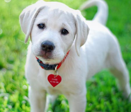 white lab | Sadee the Labrador Retriever | Puppies | Daily Puppy