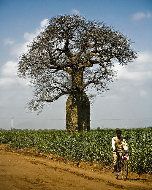 a Baobab tree | Malawi, Africa | photograph by Andy Teo on Flickr// Baobab's....cool trees... deeesgusting fruit!