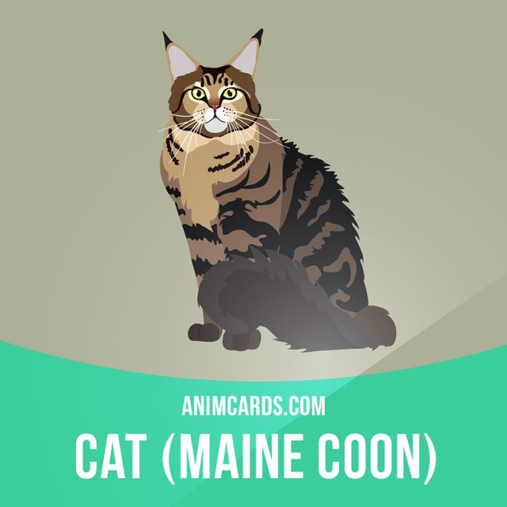"The Maine Coon is a large and sociable cat, hence its nickname, ""the gentle…"