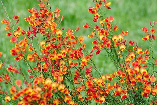Kill Scotch Broom Plant | used for including plant very prickly lee jacobson plant performance