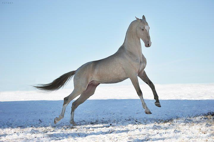 Akhal Teke. If they make The Scorpio Races into a movie, they should use this breed as the water horses.