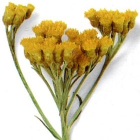 CURRYETERNELL i gruppen Krydd- och Medicinalväxter / Kryddväxt hos Impecta Fröhandel (3369)