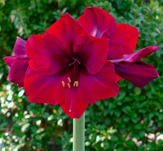 33 best images about giant dutch amaryllis bulbs on for Amaryllis royal