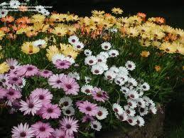 40 best flowers images on pinterest bougainvillea for Potatura margherite