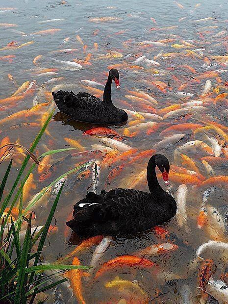 Black Swans amid thousands of Koi