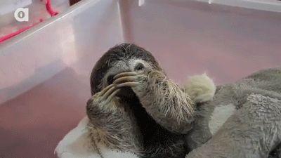 Sloth Giphy Animals Giff #6601 - Funny Sloth Giffs| Funny Giffs| Sloth Giffs