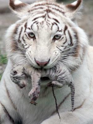 Tigrylia