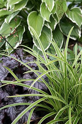 Carex `Ice dance´, Heuchera och Hosta