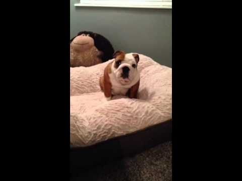 This Puppy's Reaction To His New Bed Will Absolutely Make Your Day