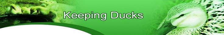 Keeping Ducks Guide - BAfree.net | Raising Pekin duck