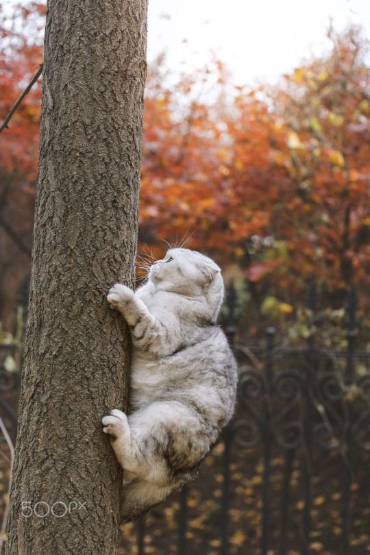 scottish fold cat up on a tree