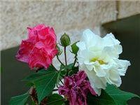 Гибискус изменчивый, Hibiscus mutabilis, лотосовое дерево, сумасшедшая роза, rosa loca