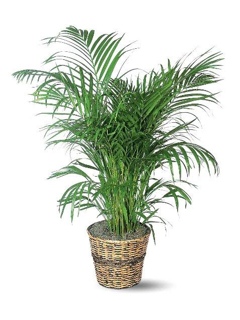 The Easiest Indoor Plants That Won't Die On You -Areca Palm grows to 7ft or can be stunted by keeping in smaller pot, likes indierct sunlight and dryish soil watering only on alternate weeks .