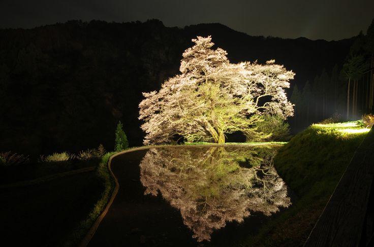 https://flic.kr/p/PzL3bM | 駒つなぎの桜 | 木の状態が年々悪くなっているようで、この年(2012)が田んぼに水を張る最後の年になりました。