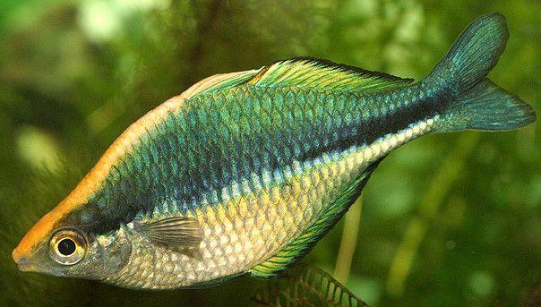 44 best rainbow fish images on pinterest fish aquariums for Yellow rainbow fish