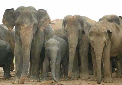 Asian Elephant | Endangered Animals Facts, Wildlife Pictures And ...