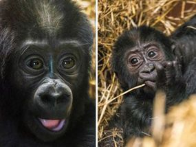 AN ADORABLE baby gorilla is taking his first wobbly steps in the big wide world under the watchful eye of his delighted mother.