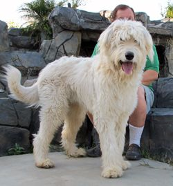 This is an Irish Wolfhound mixed with a Standard Poodle. They are huge and beautiful! I want one of these some day too!