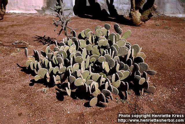 Photo: Opuntia microdasys. | Henriette's Herbal Homepage