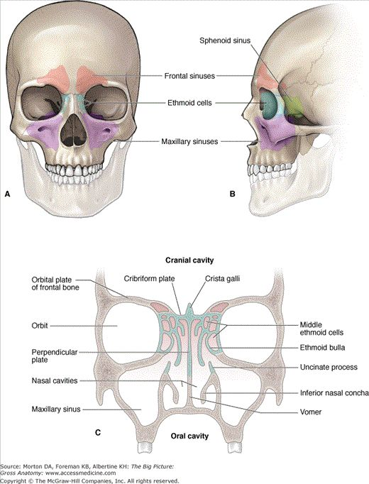 Anterior (A) and lateral (B) views of the paranasal sinuses. C. Coronal section of the skull revealing the cranial, orbital, and nasal cavities and their relationships to the paranasal sinuses