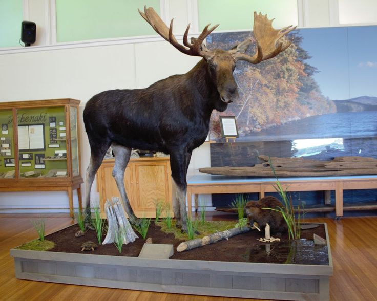 """Wildlife Artistry -- <font size=""""2"""">View Our Gallery</font> Moose Heads For Sale"""