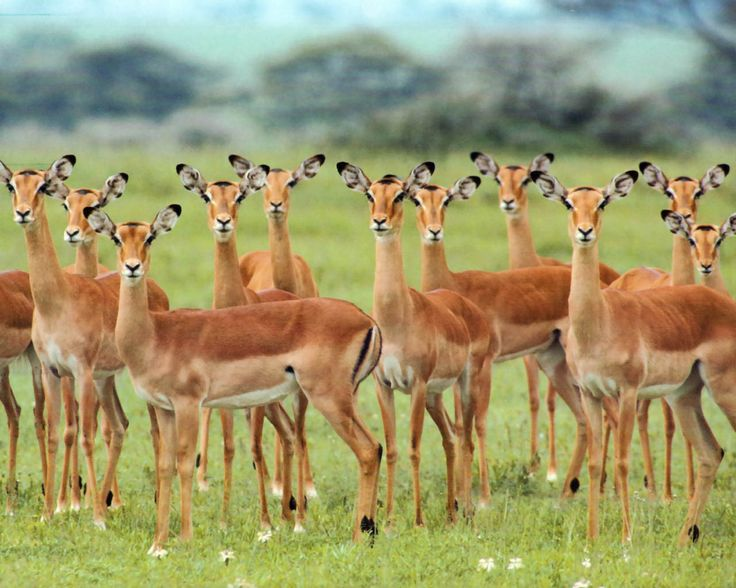 "african animals | african wildlife animals picture entitled "" impala ""."