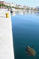 Loggerhead sea turtle swimming along the pedestrian walkway   | check it out at wildlifesense.com