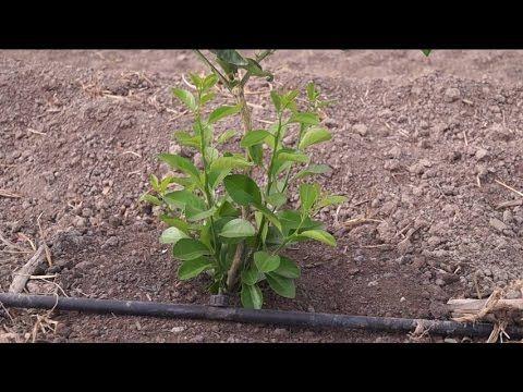Eliminar los primeros brotes del patrón en una planta de limón