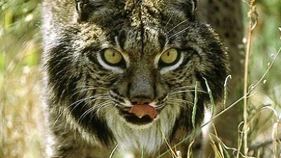 Popularity Of Cork Helps Endangered Iberian Lynx In Spain