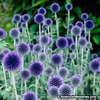 Thistle-like, ball-shaped blooms in true blue are pretty in the garden and great for dried arrangements. More compact than the species but just as hardy. (Echinops ritro)