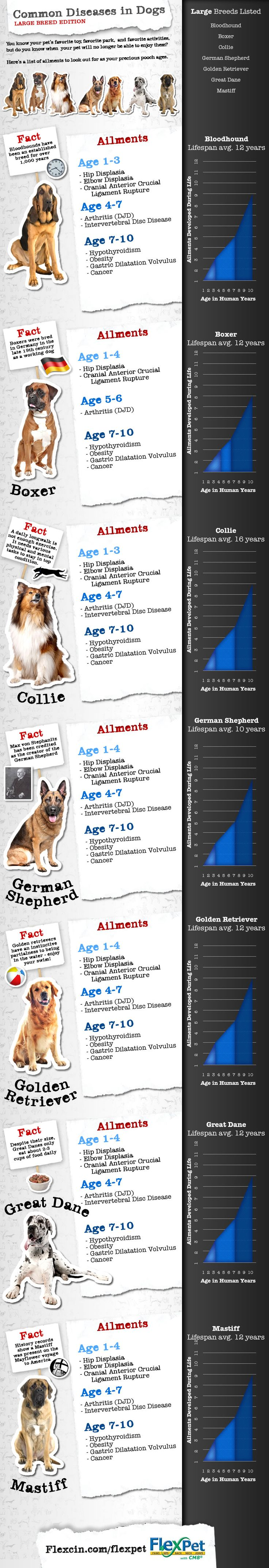 Common Diseases In Dogs | Large Breed Edition #infographic