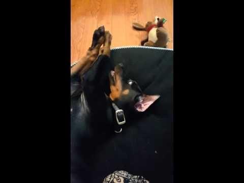 Doberman pup Alpha morning play time