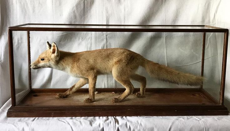 B E L L S | taxidermy fox coming soon | l am excited to share l have setup another account here on instagram @bellsstore where l will be selling one off unique items including antique & vintage apparel kitchenware taxidermy oil paintings decorative pieces linen and more | @bellstore will be opening soon so feel free to turn on notifications for listings #bellsstore #Bells #bellsvintage