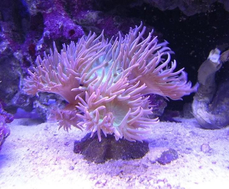 duncan+coral   Thread: Duncan Coral