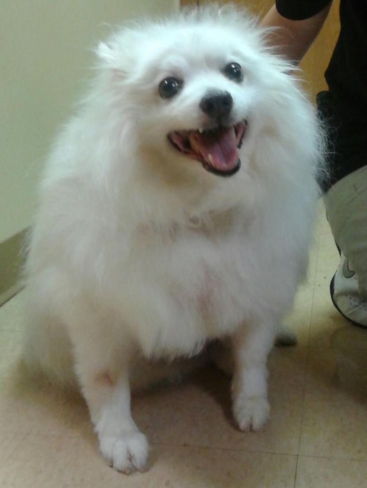 Meet Stormy, an adoptable American Eskimo Dog looking for a forever home. If you're looking for a new pet to adopt or want information on how to get involved with adoptable pets, Petfinder.com is a great resource.