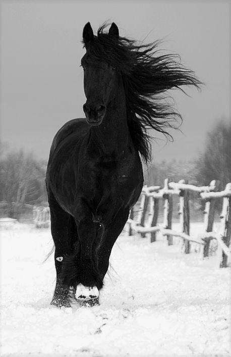 que la beauté noir cour au milieu de la neige blanche, un magnifique tableau  de la nature <3