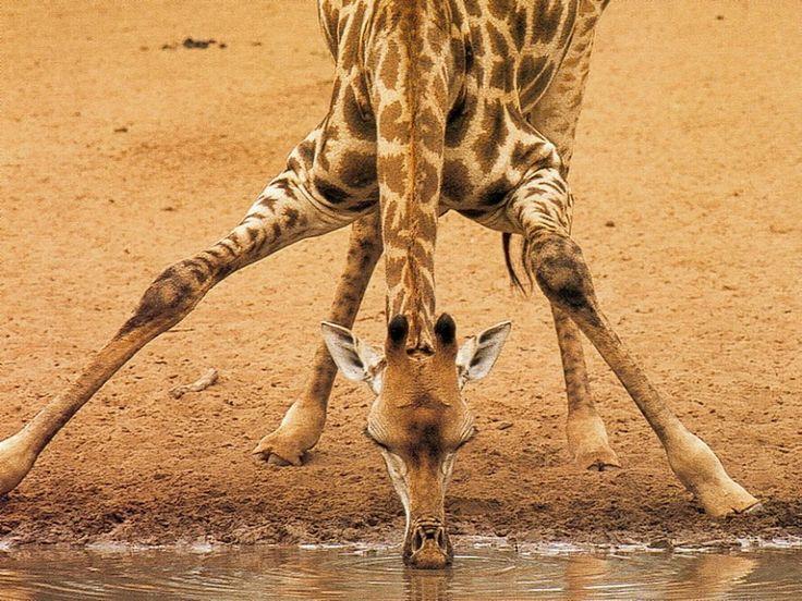 Curiosidades sobre las jirafas