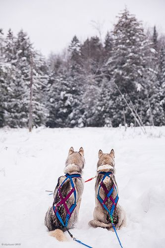 Huskies look at a sound coming from the forest. Could it be a moose? #DiscoverOntario