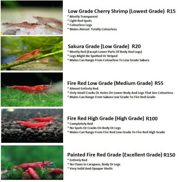 Red Cherry Shrimp In Ellisras Ads May Clasf Animals Cherry Shrimp Red Cherry Shrimp Freshwater Aquarium Shrimp