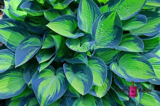 Funkie – rośliny dla zapracowanych – Pomysłowy Ogród