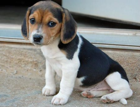 beagle puppies