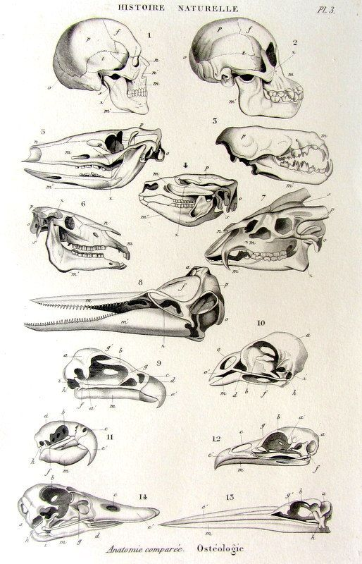 21 best anatomy images on pinterest animal anatomy bones and skulls strange antique original french animal skulls print curious 1852 craniums steel engraving oddity curiosity ccuart Gallery