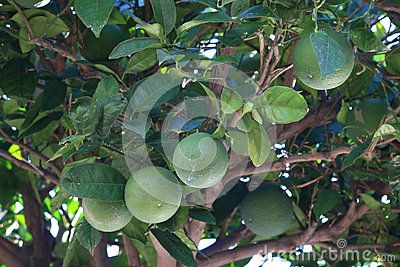 Immature fruits on the branch of an orange tree in the shade of the foliage