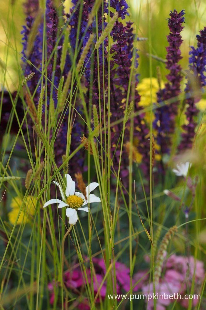 Salvias, Eryngiums, and other non native plants were beautifully combined with native British wild flowers to create a beautiful meadow in the UNHCR: 'Border Control' Garden, to demonstrate the positive effects of integration. Pictured at the RHS Hampton Court Palace Flower Show 2016.