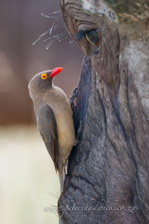 oxpecker bird and hippopotamus symbiotic relationship