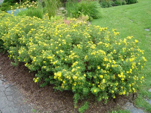 Potentilla fruticosa beautiful low maintenance shrub for Low maintenance shrubbery
