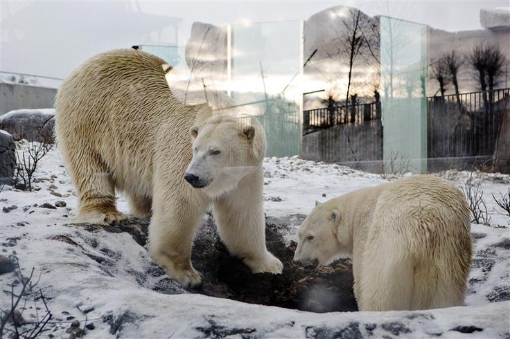 Πολικές αρκούδες απολαμβάνουν τις βουτιές τους στον ζωολογικό κήπο της Κοπεγχάγης