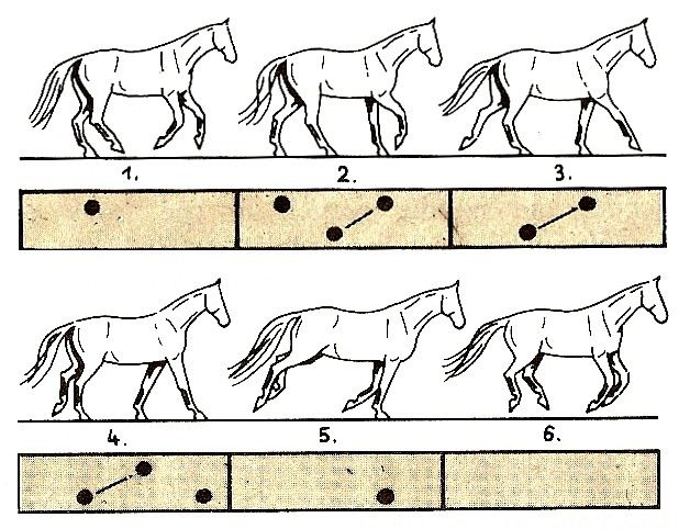 17 Best images about horse gaits on Pinterest