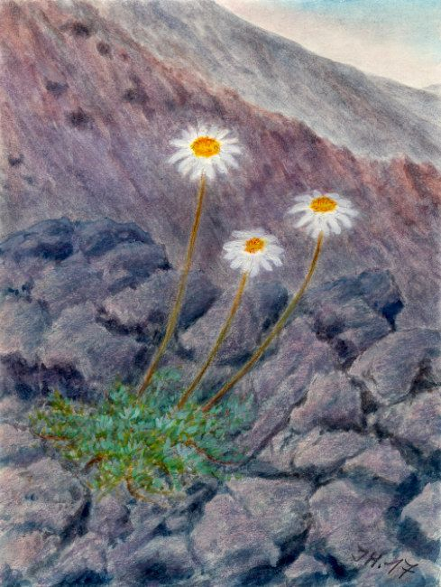 Camomilla del'Etna (Anthemis aetnensis). Watercolor and pastel by Jana Haasová